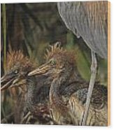 Heron Chicks Wood Print