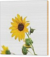 Hi Key Sunflower Wood Print