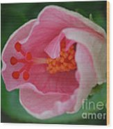 Hibiscus Flower Blooming Wood Print