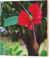 Hibiscus Rosa-sinensis / China Rose Flower Wood Print