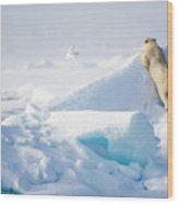 Hide And Seek, Ursus Maritimes, Fulmars Wood Print