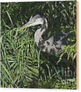 Hiding Blue Heron Wood Print