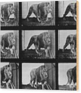 High-speed Sequence Of A Walking Lion By Muybridge Wood Print