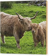 Highland Cattle And Calf Wood Print