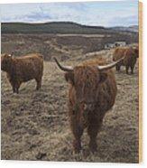 Highland Cattle Gang Wood Print