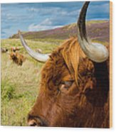 Highland Cattle On Scottish Pasture Wood Print