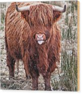 Highland Coo With Tongue Out Wood Print by John Farnan