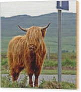 Highland Cow Wood Print by David Davies