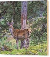 Highland Stag Wood Print