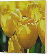 Hill Of Golden Tulips Wood Print