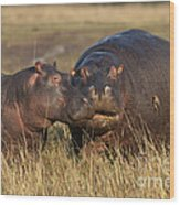 Hippo Cow And Calf Wood Print