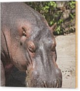 Hippo Hair 1 Wood Print