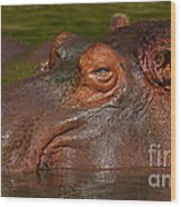 Hippopotamus With Its Head Just Above Water Wood Print