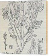 Historical Art Of Coca Plant Wood Print
