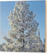 Hoar Frost Ponderos Pine Tree, Sundance Wood Print