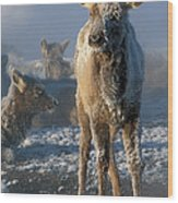Hoarfrosted Elk Calf Wood Print