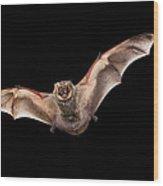 Hoary Bat Male Georgia Wood Print