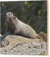 Hoary Marmots Wood Print