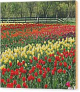 Holland Tulip Fields Wood Print
