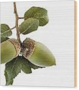 Holm Oak Branch With Acorns Wood Print