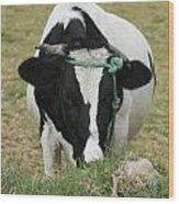 Holstein Cow Eating Wood Print