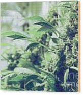 Home Grown Cannabis Plants. Wood Print