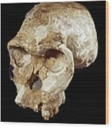 Homo Habilis Cranium (oh 24) Wood Print by Science Photo Library