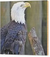 Homosassa Springs Bald Eagle Wood Print