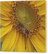 Honey Bee Close Up On Edge Of Sunfower...  # Wood Print