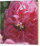 Honey Bee Collecting Pollen On A Pink Rose Wood Print