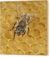 Honey Bee Colony On Honeycomb Wood Print