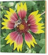 Honey Bee On A Indian Blanket Wood Print