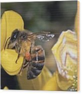 Honey Bee Feeding Wood Print