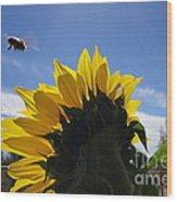 Honey Bee In Flight. Wood Print