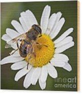 Honey Bee On Daisy Wood Print