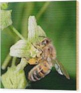 Honey Bee On White Bryony Wood Print