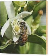 Honey Bee Pollinating Orange Blossom Wood Print