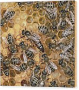 Honey Bee Queen And Colony On Honeycomb Wood Print
