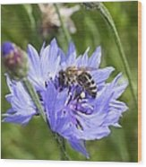 Honeybee In Bachelor's Button Wood Print