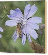 Honeybee On Chicory Wood Print