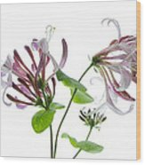 Honeysuckle Blossom Wood Print