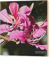 Hong Kong Orchid Tree Flower Blooms Wood Print