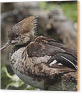 Hooded Merganser Female Wood Print