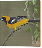 Hooded Oriole Wood Print