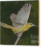 Hooded Oriole Hen At Take Wood Print