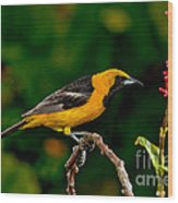Hooded Oriole Male Wood Print