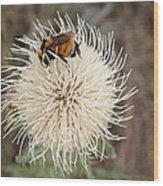 Hooker's Thistle With Bumblebee Wood Print