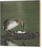 Horned Grebe Adult On Floating Nest Wood Print