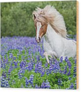 Horse Running By Lupines. Purebred Wood Print