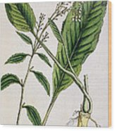 Horseradish Wood Print by Elizabeth Blackwell